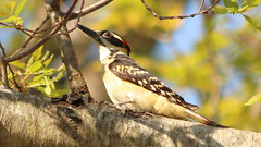 Hairy Woodpecker (blazer8696) Tags: 2018 brookfield ct connecticut ecw obtusehill t2018 tabledeck usa unitedstates hairy hairywoodpecker hawo img2873 picidae piciformes picoides picoidesvillosus picvil villosus woodpecker