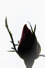 Mother's Day Rose (markussipilä) Tags: rose mothers day button red contrast plant flower
