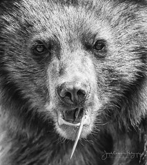 Black Bear Cub (jchowaniec) Tags: bear blackbear cute blackbearcub nature wildlife animal animals mammal portraits blackandwhite canada canon tamron bc whistler britishcolumbia