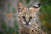 Cute Serval (helenehoffman) Tags: giraffecat animalambassador conservationstatusleastconcern serval felidae mammal kendi sandiegozoo feline carnivore wildcat kitten africa animal cat