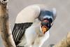 Urubu-rei (Johnny Photofucker) Tags: zoológico zoo urubu uruburei bh belohorizonte minasgerais mg ave bird uccello avvoltoio vulture 100400mm lightroom animal animale bicho pássaro