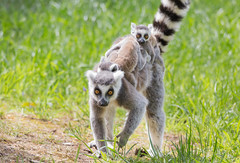 Taking the kids to school (julie cavell) Tags: lemur baby lemurs family behaviour yorkshirewildlifepark ywp animals endangered cute transport twins action photography wildlife