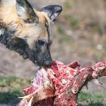 Wild dog eating meat thumbnail