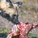 Wild dog eating meat