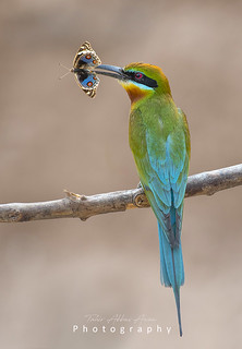 Blue Pansy Hunted by Blue tailed Bee Eater