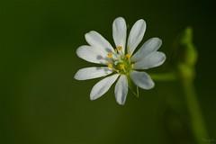 ノミノフスマ Starwort (takapata) Tags: sony sel90m28g ilce7m2 macro nature flower