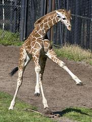 unadulterated joy (ucumari photography) Tags: ucumariphotography giraffe animal mammal jacksonville florida fl zoo march 2018 young dsc2005 specanimal
