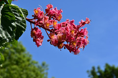 Red Horse Chestnut (John A King) Tags: aesculus×carnea red horse chestnut plumstead