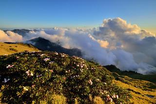 合歡山主峰●玉山杜鵑雲海   Taiwan Alpine Rhododendron Sunset