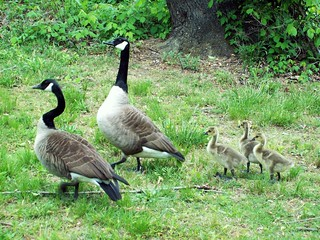 Canada Geese and Gosslings