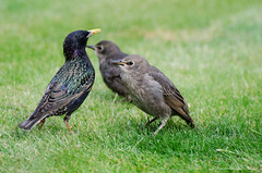 mum and two of her brood (sure2talk) Tags: starling juveniles blackbird nikond7000 nikkor70300mmf4556afsifedvr