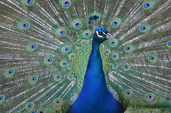 crowned (dfromonteil) Tags: paon bird oiseau plumes colors couleurs bleu blue green vert look regard eyes nature animal