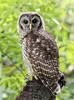 Barred Owl 1st Year (sharpephotography1) Tags: bird birds birding nature wildlife 1st year barred owl juvenile mead garden winter park florida may 17 2018