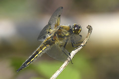 Four-spotted Chaser (Kentish Plumber) Tags: review