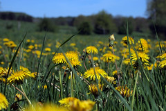 Milieu de la journée — Creuse, mai 2018 (Stéphane Bily) Tags: stéphanebily creuse france campagne country countryside pissenlits pré dandelions