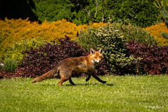 An uninvited guest in my garden (Magda Banach) Tags: canon canon80d sigma150mmf28apomacrodghsm animal colors flora fox garden nature outdoor plants poland