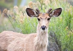 Deer (mhawkins) Tags: chatfieldstatepark deer