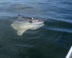 Ocean Sunfish (Mola mola) (jd.willson) Tags: jd willson jdwillson nature wildlife fish fishing maine ocean deep sea sunfish mola