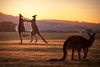 Morning Duel || HUNTER VALLEY || AUSTRALIA (rhyspope) Tags: australia aussie nsw new south wales hunter valley vintage chateau elan kangaroo roo morning animal wildlife nature rhys pope rhyspope canon 5d mkii golf sunrise gold golden travel amazing wow