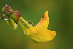 gouttes sur le dos ( UNIXetvous ) Tags: bokeh canoneos5dmark3 100mmmacro gouttes drops eau water fleur flower wet