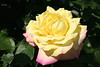 Edelrose 'Gloria Dei' (Wolfgang Bazer) Tags: rose rosa edelrose teehybride madame antoine meilland mme a peace gioia gloria dei volksgarten wien vienna österreich austria