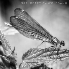 Dragonfly (NatureArt by Wolfgang) Tags: dragonfly libelle bw monoton makro close focus quadrat schwarz weis