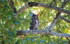 Grand-duc africain au domaine viticole d'Annandale / Spotted eagle-owl at Annandale Wine Estate, Stellenbosch (b-noy) Tags: afrique africa afriquedusud stellenbosch winery vignoble vin wine grandducafricain grandduc hibou spottedeagleowl owl annandale