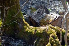 THE SAGUENEAN FOOT - LE PIED SAGUENÉEN (BLEUnord) Tags: arbre tree mousse foam lichen saguenéen saguenean québec nature forêt forest pied foot parc park municipal saguenay chicoutimi rivièredumoulin rivièrelangevin