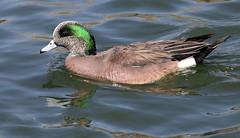 American Wigeon -- Male (Anas americana); Albuquerque, NM, Tingley Beach Park [Lou Feltz] (deserttoad) Tags: bird wildbird waterfowl nature reflection water park pond wigeon duck newmexico