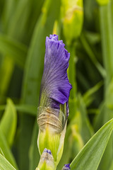 On My Way (will139) Tags: iris irisgermanica flower blooming purple botany macro flora beautyinnature horticulture fragility closeup colorful vibrant onmyway
