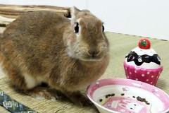 Ichigo san 1157 (Ichigo Miyama) Tags: いちごさん。うさぎ ichigo san rabbitbunny cute netherlanddwarf brown ネザーランドドワーフ ペット うさぎ いちごrabbit bunny いちご