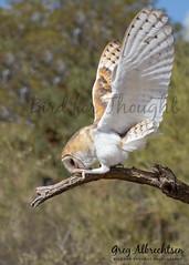 Barn Owl bow (Greg Albrechtsen) Tags: barnowl raptor birds birdwatching nature outside