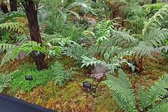 Ptisana salicina (syn. Marattia salicina) (vireyauk) Tags: ptisanasalicina ptisana salicina marattiasalicina marattia kellsbaygardens chelseaflowershow 2018 treefern fern frond marattiaceae