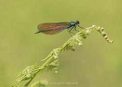 Beautiful Damoiselle 23rd May (Gavin Vella) Tags: insectsuk bugsuk ukbugs ukamphibians macro macrolens macrophotography ukwildlife british britishwildlife britishinsects canon canon7dmkii