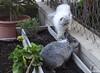 Neo & Jess (Escursso) Tags: cat gat gato kitty kitten pet pets animals conill conejo bunny rabbit
