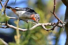 Mistletoebird_(Dicaeum hirundinaceum) (Neil H Mansfield) Tags: mistletoebird dicaeumhirundinaceum mistletoe native nature australia victoria geelong honeyeater