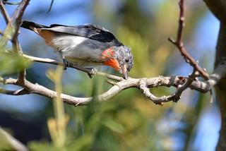 Mistletoebird_(Dicaeum hirundinaceum)
