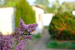 Purple spring #fujifilm #fujifilm_global #fujifeed #garden #spring #berlin #030 #nature #bush #purple #urban #city (gunnarmueller76) Tags: fujifilm fujifilmglobal fujifeed garden spring berlin 030 nature bush purple urban city