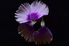 Separate petals,Dianthus (Dreaming of the Sea) Tags: flowers macro purple smileonsaturday flora blackbackground blackattheback petals drips drops nikond7200 tamronsp90mmf2811macro separatepetals water