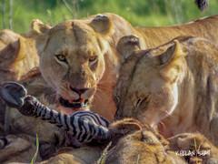 Lions (khelan919) Tags: lunch meal zebra wildlifephotography maratriangle masaimara eastafrica kenya wildlife lioness lion