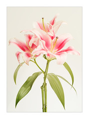 Lilly 1 (Dave Fieldhouse Photography) Tags: lilly flowers cutflowers florist highkey floral flora plant stilllife pretty macro macrophotography samyangf28100mm samyang fuji fujifilm fujixt2 wwwdavefieldhousephotographycom project