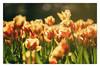 Tulipani al Parco Sigurtà (camperpida) Tags: tulipani tulips parco sigurtà park garden blossom fiori fioritura florwe