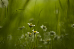 Dreamy world of f/2.8 in 300mm (jimiliop) Tags: flowers green blurry dreamy chamomile white dof grass nature focus outoffocus colour fields countryside f28 300mm fuzzy deep spring life