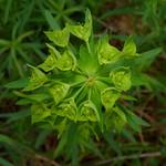 Leafy Spurge thumbnail