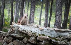 ARDILLA-3 (ROGE gonzalez ALIAGA) Tags: naturaleza yeste ardillas animales fauna montaña nikond5000 1855mm