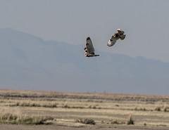 Short-eared Owl (Asio flammeus) (mesquakie8) Tags: bird owl flyingandtouchingtalonsmidair adults shortearedowl asioflammeus seow bearrivermbr boxeldercounty utah 7380