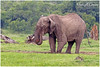 Bull enjoying Spa! (MAC's Wild Pixels) Tags: bullenjoyingspa elephant bullelephant loxodontaafricana gentlegiants endangeredspecies poaching tusks criticallyendangered animal mammal wildlife africanwildlife wildafrica wildanimal safari gamedrive olpejetaconservancy sweetwaterstentedcamp laikipia kenya macswildpixels coth npc