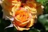 Maig_0112 (Joanbrebo) Tags: barcelona catalunya españa es 17èconcursinternacionalderosesnovesdebarcelona park parque parc parccervantes garden jardí jardín flors flores flowers fleur fiori blumen blossom rosa rose canoneos80d eosd efs18135mmf3556is autofocus greatphotographers