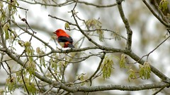 Scarlet Tanager Piranga olivacea (- the way I see it -) Tags: scarlet tanager piranga olivacea maggie virginia usa red
