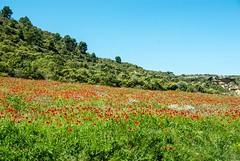 Au pays d'Aragon (PierreG_09) Tags: aragon espagne spain españa monegros huesca flor flore fleur plante coquelicots terreu